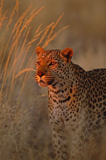 Stock Photo: 4141-1197 african leopard panthera pardus in last light south africa