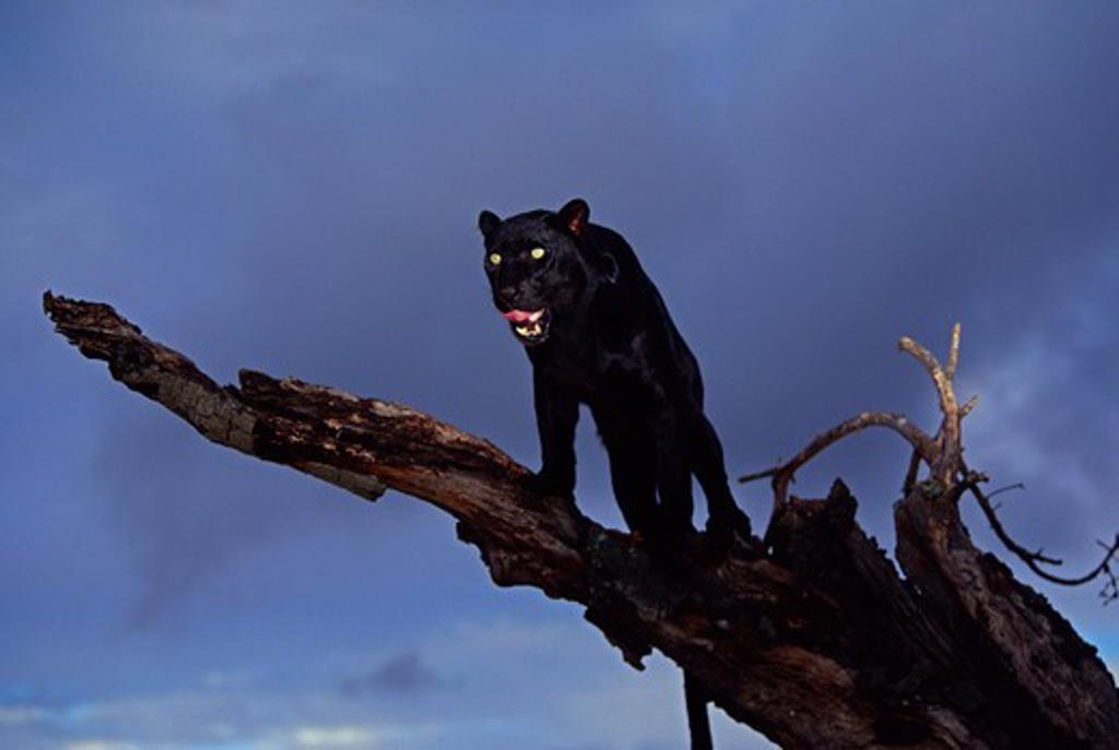 Stock Photo: 4141-1210 black panther panthera pardus