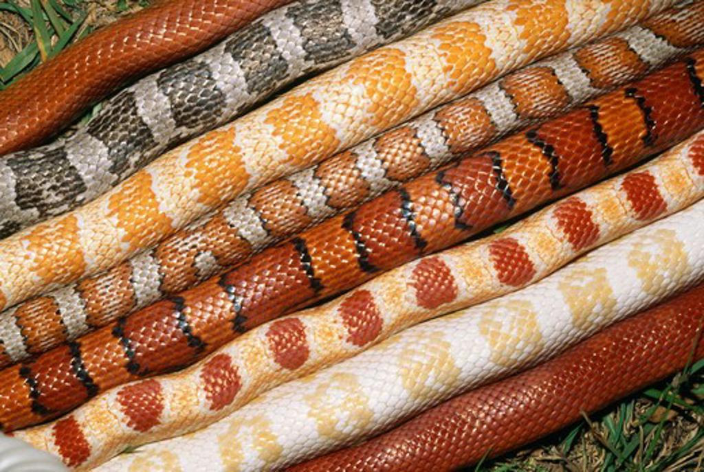 Corn Snake Elaphe Guttata Eight Different Colour Varieties