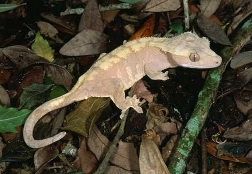 crested or guichenot's giant gecko rhacodactylus ciliatus new caledonia : Stock Photo