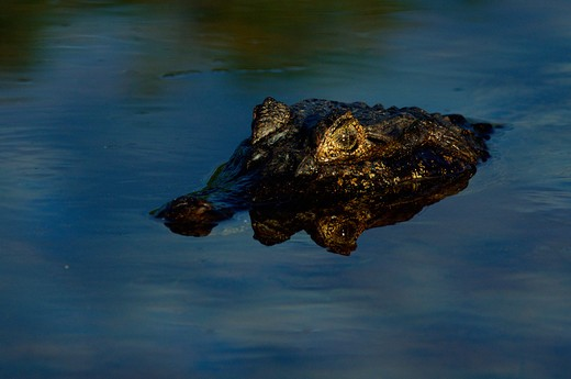 spectacled caiman caiman crocodilus lurking in water pantanal, brazil : Stock Photo