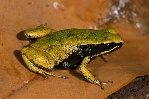 Stock Photo: 4141-12270 eastern golden frog mantella crocea madagascar