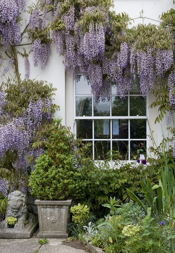 Stock Photo: 4141-12505 wisteria climbing up front of house around windows and porch. date: 10.10.2008 ref: zb1040_121960_0004 compulsory credit: photos horticultural/photoshot
