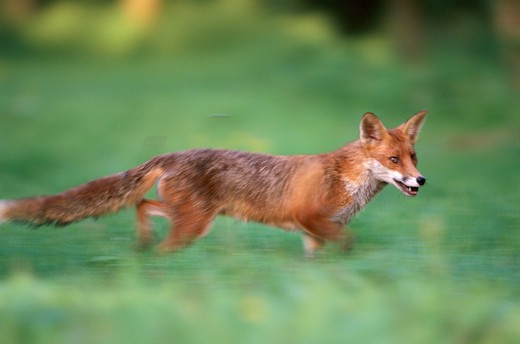 Stock Photo: 4141-1259 red fox vulpes vulpes running uk