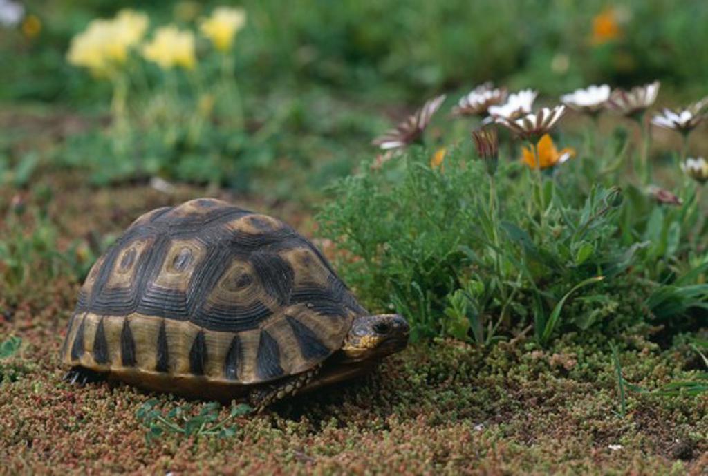 angulate tortoise chersina angulata langebaan, south afica. : Stock Photo