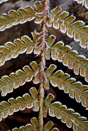 fern frond with soredia and frost uk : Stock Photo