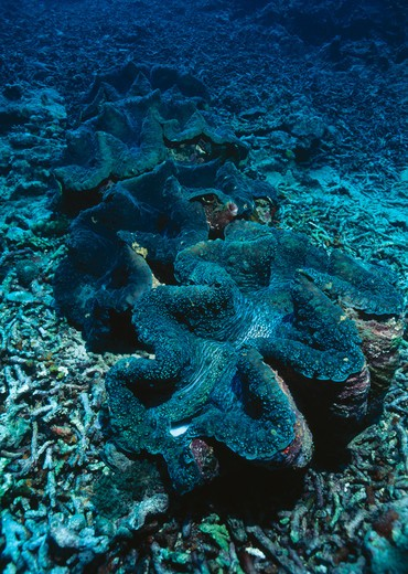 Stock Photo: 4141-13679 giant clam row tridacna gigas bunaken marine reserve, sulawesi, indonesia