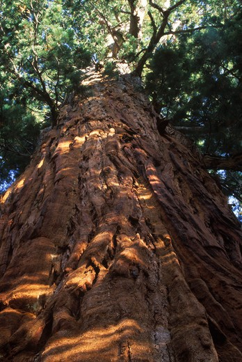 Stock Photo: 4141-13711 giant sequoia or wellingtonia sequoiadendron giganteum sequoia np, california, usa