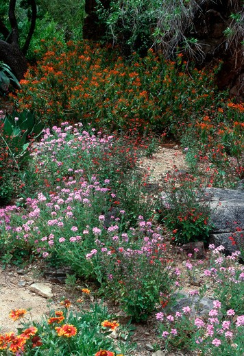 Stock Photo: 4141-13781 mixed desert plants in bloom in garden tucson, arizona, south western usa