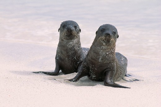 Stock Photo: 4141-13841 galapagos sealions young zalophus californianus wollebaeki galapagos islands