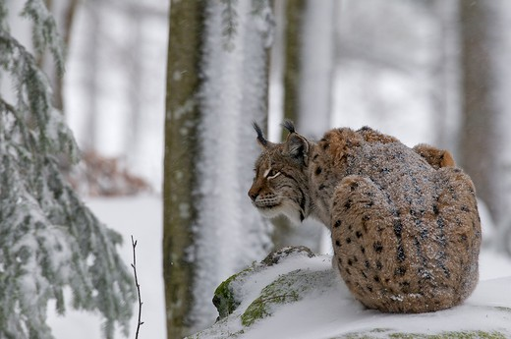 european lynx female (felis lynx) bavarian forest national park, germany : Stock Photo