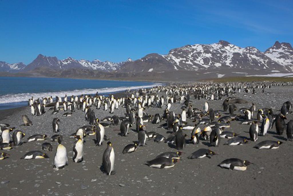 Stock Photo: 4141-1401 king penguin (aptenodytes patagonicus) huge colony on beach, salisbury plain, south georgia
