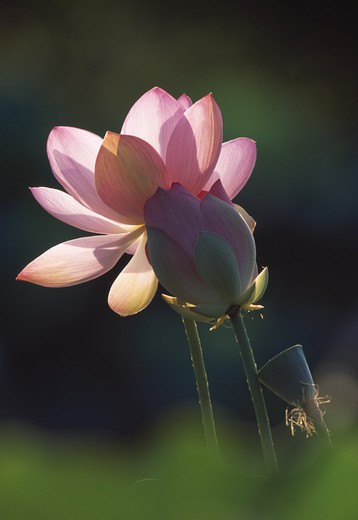 sacred lotus flower & bud nelumbo nucifera japan : Stock Photo