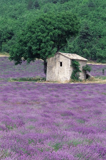 Stock Photo: 4141-14346 lavender lavandula sp crop in bloom round stone hut, provence, france