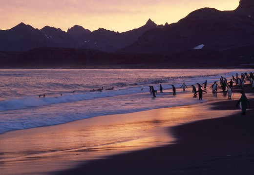Stock Photo: 4141-14375 saint andrew's bay at dawn with king penguins aptenodytes patagonica, on shore south georgia, south atlantic