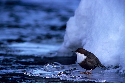 Stock Photo: 4141-14659 dipper on ice cinclus cinclus lapland, finland.