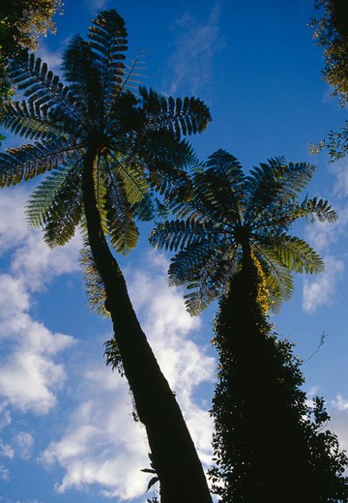Stock Photo: 4141-14732 black tree fern or mamaku cyathea medularis with epithytes and orchids lake mangamhoe, north island, nz.