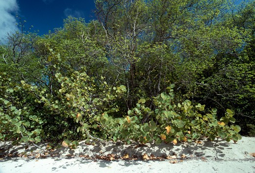 Stock Photo: 4141-1567 sea grape (foreground) coccoloba uvifera with other beach-crest vegetation. cariacou, grenadines. caribbean sea.