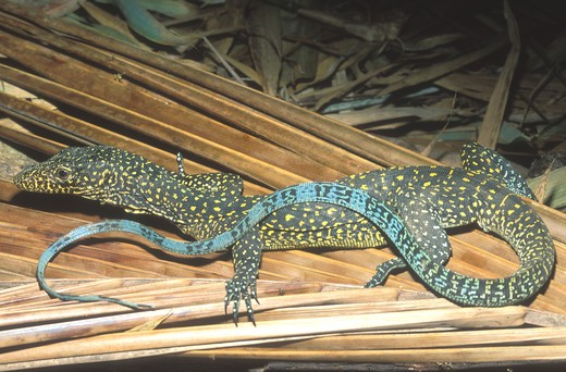 Stock Photo: 4141-15712 blue-tailed monitor lizard varanus doreanus papua new guinea & west papua (indonesia)