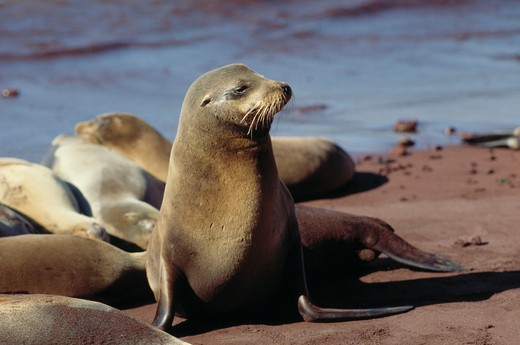 Stock Photo: 4141-15883 galapagos sea lion zalophus californianus wollebaeki galapagos islands, pacific