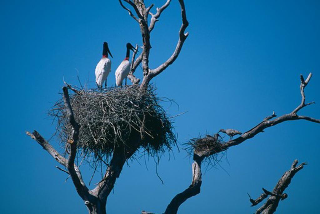 Stock Photo: 4141-16019 jabiru storks nesting in same tree jabiru mycteria as plumbeous ibis theristicus caerulescens brazil