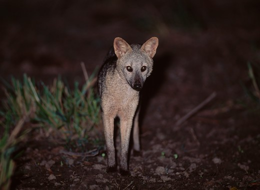 Stock Photo: 4141-16023 crab-eating fox at night dusicyon thous pantanal, mato grosso do sul, southern brazil