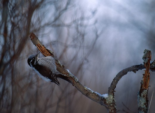Stock Photo: 4141-16283 three-toed woodpecker female picoides tridactylus searching for food liminka, finland