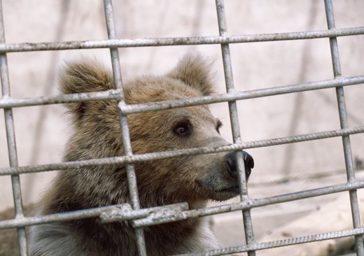 tien-shan brown bear in cage ursus arctos isabellinus karakol zoo, kyrgyzstan : Stock Photo
