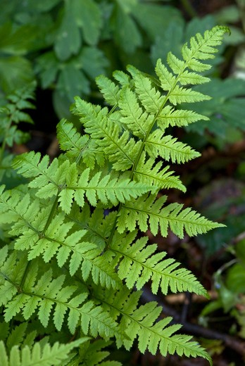 Stock Photo: 4141-16954 narrow buckler-fern dryopteris carthusiana england: surrey, grayswood, frillinghurst wood, may
