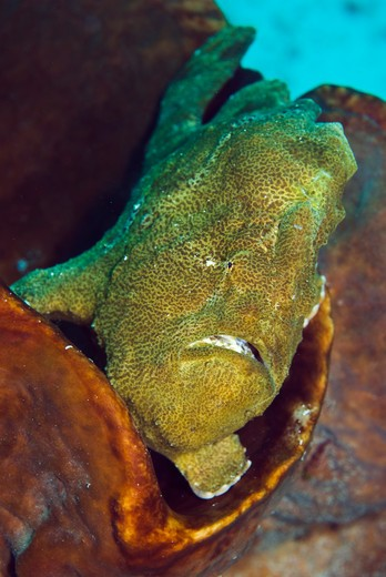 giant frogfish antennarius commerson, resting in barrel sponge indonesia: sulawesi: bangka, busa bora october : Stock Photo