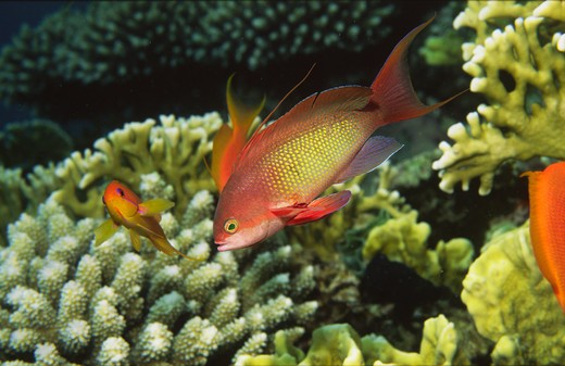 Stock Photo: 4141-17396 anthias pseudanthias squamipinnis and stony coral and fire coral gulf of suez, red sea, egypt
