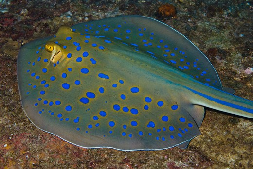 bluespotted ribbontail ray taeniura lymma red sea, egypt : Stock Photo
