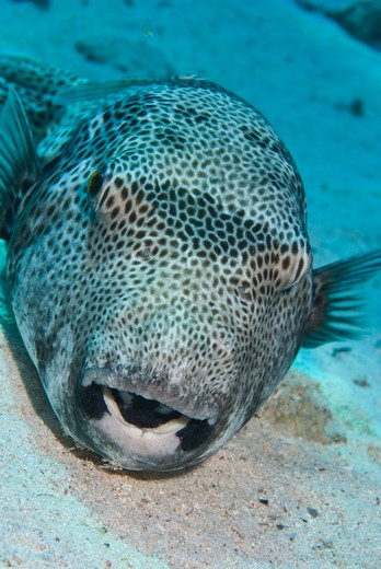 Stock Photo: 4141-17466 star puffer arothron stellatus red sea, egypt.