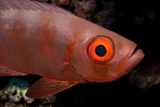 Stock Photo: 4141-17578 bigeye or google-eye priacanthus hamrur red sea: egypt: gulf of suez, small crack (small passage)