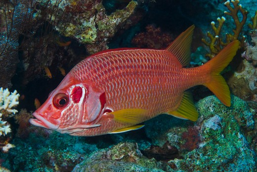 Stock Photo: 4141-17588 sabre squirrelfish sargocentron spiniferum red sea: egypt: gulf of suez, small crack (small passage)