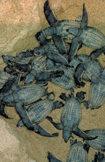 Stock Photo: 4141-1760 leatherback turtles dermochelys coriacea newly emerged from eggs french guiana, south america