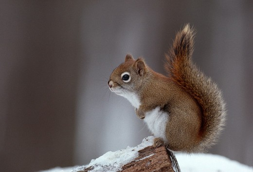 american red squirrel winter tamiasciurus hudsonicus northern michigan, usa  : Stock Photo