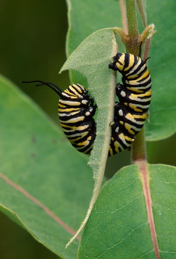 Stock Photo: 4141-17641 monarch butterfly larvae danaus plexippus eating milkweed which contains poison stored by larva which acts as defence