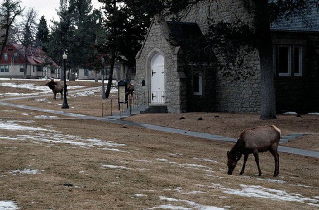 Stock Photo: 4141-17644 wapiti or american elk cervus canadensis mammoth hot springs,yellowstone, wyoming