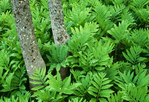 sensitive fern onoclea sensibilis michigan, usa. summer  : Stock Photo
