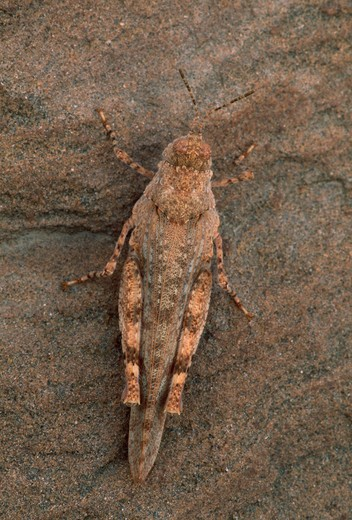 Stock Photo: 4141-17931 grasshopper camouflaged on rock fam. acrididae utah, usa
