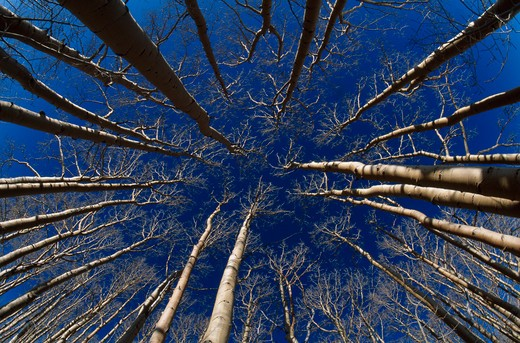aspen trees close group bare of leaves, view upwards spring dixie natl forest utah, mid-western usa  : Stock Photo