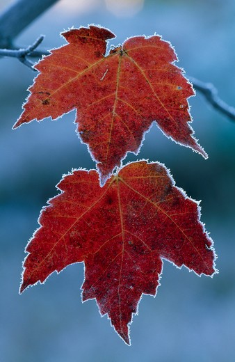 frost on maple leaves northern michigan, usa : Stock Photo
