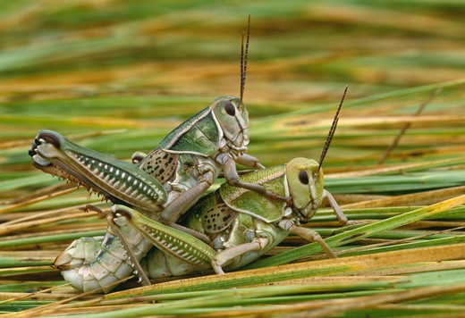 Stock Photo: 4141-18021 lubber grasshoppers mating brachystola magna badlands national park, south dakota, usa.