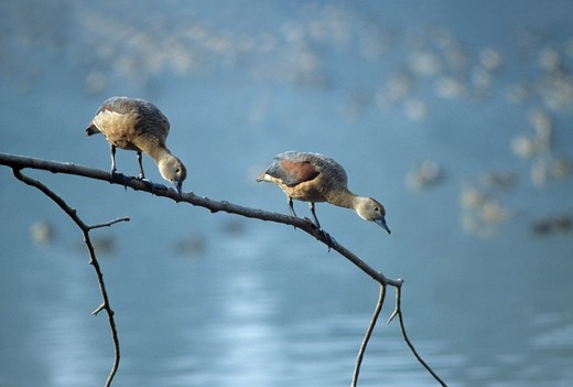 lesser whistling ducks dendrocygna javanica on branch (winter visitor to india)  : Stock Photo