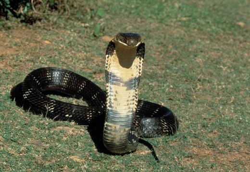 Stock Photo: 4141-18390 king cobra ophiophagus hanna india world's longest venomous snake