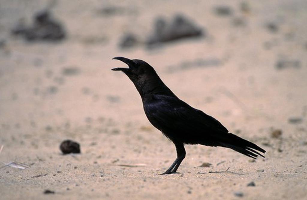 dwarf raven calling corvus edithae lake turkana, kenya : Stock Photo