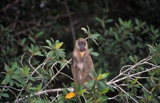 Stock Photo: 4141-18551 mandrill female papio sphinx conkouati, congo