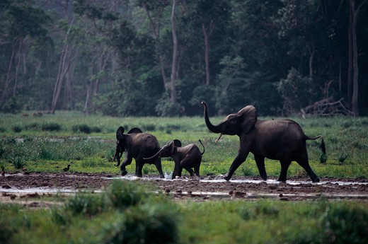 Stock Photo: 4141-18567 african forest elephants loxodonta africana cyclotis with young, at salt marsh. maya bai, odzala forest, congo, africa