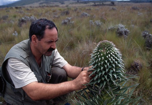 Stock Photo: 4141-18658 botanist collecting seed sample from giant lobelia lobelia deckenii mount kilimanjaro, tanzania